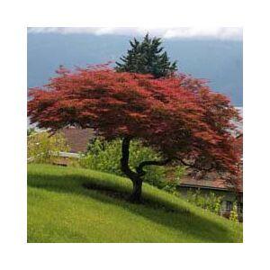 Acer palmatum 'Dissectum Atropurpureum' – Szeldelt levelű japán juhar