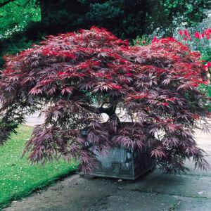 Acer palmatum 'Dissectum Garnet' – Szeldelt levelű japán juhar (extra méretű koros)