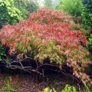 Acer palmatum 'Dissectum' – Szeldelt levelű japán juhar (extra méretű koros)