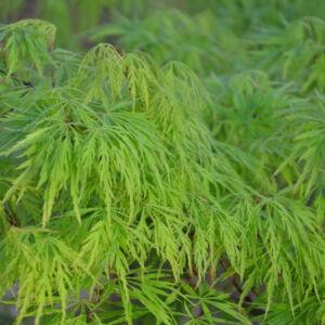 Acer palmatum 'Dissectum Viridis' – Japán juhar