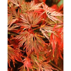 Acer palmatum 'Emerald Lace' – Japán juhar