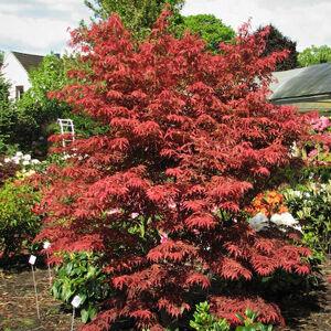Acer palmatum 'Fior d'Arancio' – Japán juhar