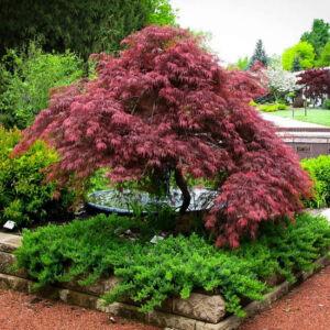 Acer palmatum 'Garnet' - Japán juhar