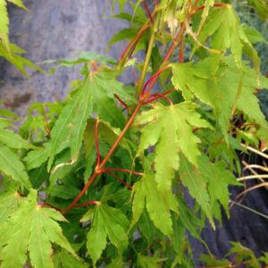 Acer palmatum 'Going Green' – Japán juhar
