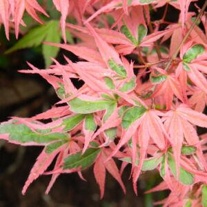 Acer palmatum 'Kagiri-nishiki' (syn. 'Roseomargina') – Japán juhar
