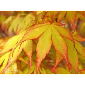 Acer palmatum 'Katsura' – Narancsszín levelű japán juhar