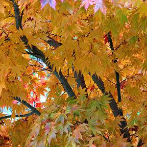 Acer palmatum 'Kogane Nishiki' – Japán juhar (extra méretű koros)