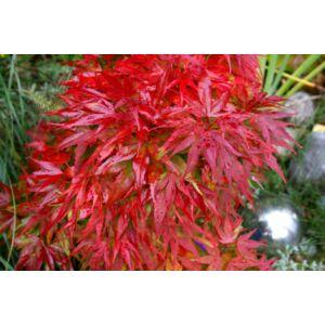 Acer palmatum 'Mikawa Yatsubusa' – Japán juhar