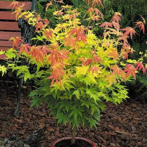 Acer palmatum 'Orange Dream' – Sárgászöld levelű japán juhar
