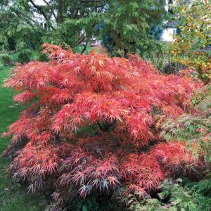 Acer palmatum 'Red Pygmy' – Japán juhar