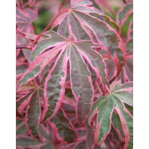 Acer palmatum 'Shirazz' - Japán juhar