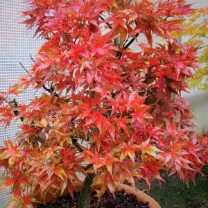 Acer palmatum 'Taro Yama' – Törpe japán juhar (extra méretű koros)