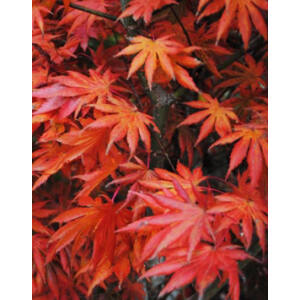 Acer palmatum 'Trompenburg' – Japán juhar