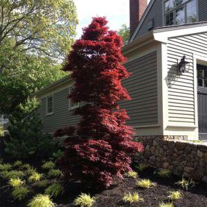 Acer palmatum 'Twombly's Red Sentinel' – Japán juhar