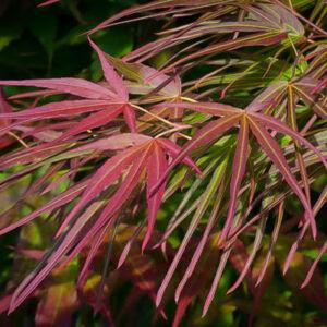 Acer palmatum 'Villa Taranto' – Keskenylevelű japán juhar