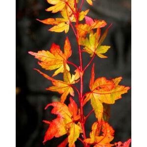 Acer palmatum 'Winter Flame' – Japán juhar