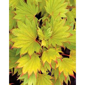 Acer shirasawanum 'Aureum' - Sárga levelű törpe japán juhar
