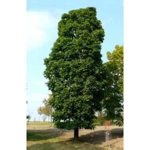 Acer platanoides 'Columnare' - Oszlopos korai juhar