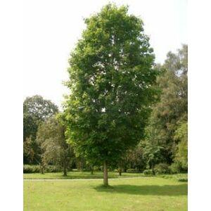 Acer platanoides 'Olmsted'  – Oszlopos korai juhar