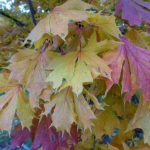 Acer platanoides 'Dissectum' – Korai juhar