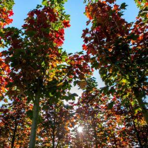 Acer platanoides 'Firewiev' – Korai juhar