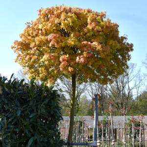 Acer platanoides 'Golden Globe' – Gömb korai juhar
