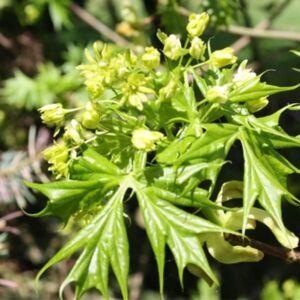 Acer platanoides 'Lorbergii' – Korai juhar