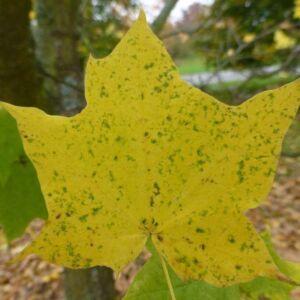 Acer platanoides 'Maculatum' – Korai juhar