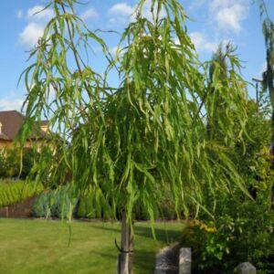 Acer platanoides 'Paldiski' – Korai juhar