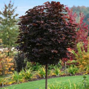 Acer platanoides 'Purple Globe' – Bordó, gömb korai juhar