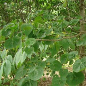 Acer platanoides 'Tharandt' – Korai juhar