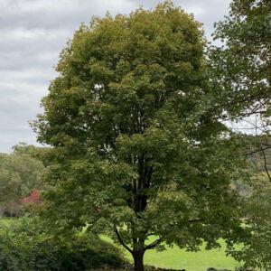 Acer platanoides 'Walderseei' – Tarka levelű korai juhar