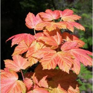 Acer pseudoplatanus 'Brillantissimum' – Narancs-rózsaszín levelű hegyi juhar
