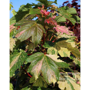 Acer pseudoplatanus 'Simon-Louis Freres' – Tarka levelű hegyi juhar
