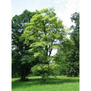 Acer pseudoplatanus 'Leopoldii' – Kúpos koronájú, tarka levelű hegyi juhar