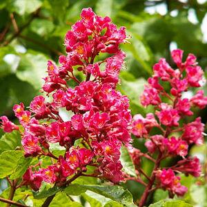 Aesculus carnea 'Delta' -Rózsaszín virágú vadgesztenye