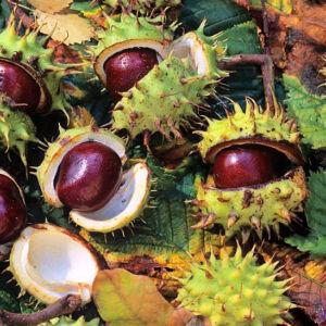 Aesculus hippocastanum 'Memmingeri' – Vadgesztenye