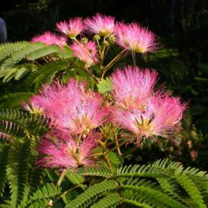 Albizia julibrissin 'Tropical Dream' – Selyemakác