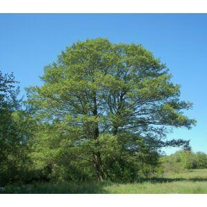 Alnus glutinosa 'Laciniata' - Szeldelt levelű mézgás éger