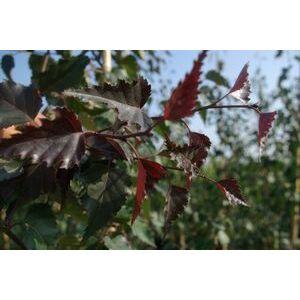 Betula pendula 'Royal Frost' – Bordó levelű nyír