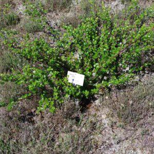 Betula nana – Törpe nyír