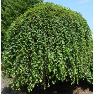 Betula nigra 'Summer Cascade' – Csüngő fekete nyír