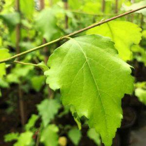 Betula pendula 'Golden Beauty' – Közönséges nyír