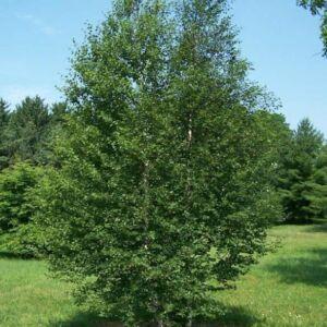 Betula pubescens 'Cucullata' – Molyhos nyír