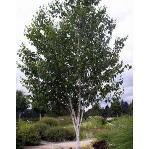 Betula utilis 'Jacquemontii' – Himalája nyír