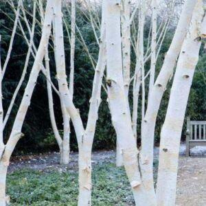 Betula 'White Light' – Nyír