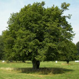 Carpinus betulus - Közönséges gyertyán