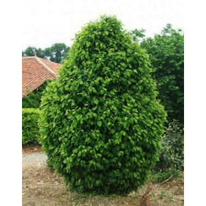 Carpinus betulus 'Monumentalis' – Oszlopos gyertyán