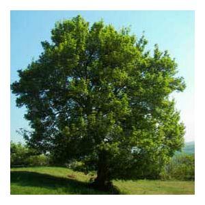 Carpinus betulus 'Strabla' – Gyertyán