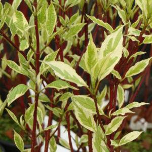 Cornus alba 'Argenteomarginata' – Piros vesszős som